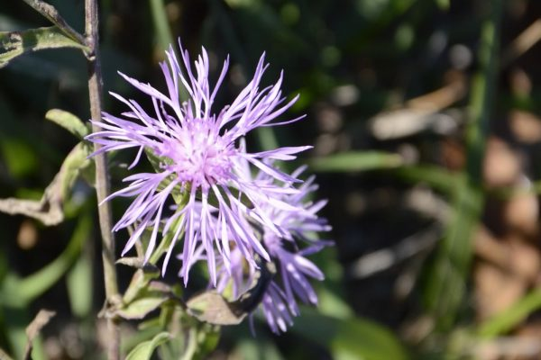 flora sassovivo 1